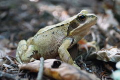 Grayish green frog sitting in a forest Royalty Free Stock Photo