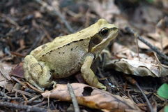 Grayish green frog sitting in a forest Stock Photos