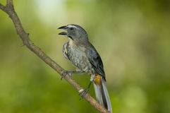 Grayish saltator. (Saltator coerulescens), con a stick in the wild Royalty Free Stock Photography
