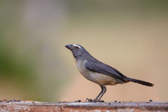 Grayish Saltator perched Royalty Free Stock Photography