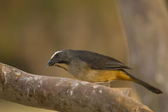 Grayish Saltator on Thick Branch Royalty Free Stock Images