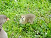 Graylag鹅和小鸡 免版税库存照片