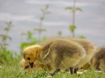 Graylag鹅小鸡 库存图片