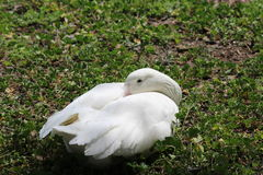 Graylag (Barnyard) Goose. White goose rests on a green field Royalty Free Stock Photos
