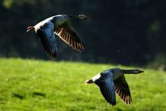 graylag d'oies de vol Image libre de droits
