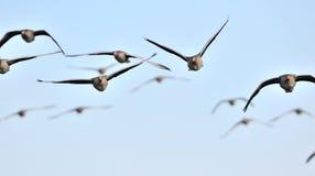 graylag för flygflockgäss royaltyfri bild