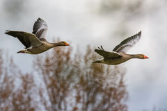 Graylag geese in flight Royalty Free Stock Images
