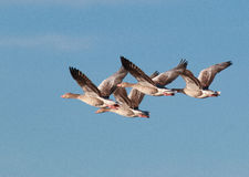 Graylag Geese in flight. Greylag geese in flight over Klagshamn nature reserve South of Klagshamn, Sweden Stock Photography