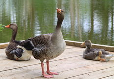 Graylag geese with gosling Stock Images