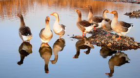 Graylag geese resting on a pebbled bank Stock Photo