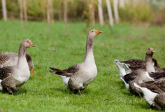 Graylag geese Stock Photo