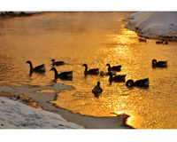 Graylag geese swimming in the sunset. Graylag geese are swimming in the sunset on Songhua River stock images