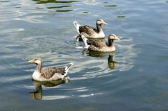 Graylag Geese Stock Images