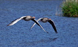 Graylag goose. Bavarian lake in springtime Royalty Free Stock Photo