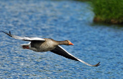Graylag goose. Bavarian lake in springtime Royalty Free Stock Photos