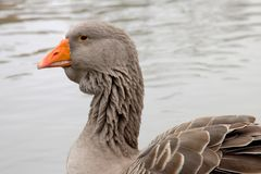 Graylag goose. Portrait of a gray lag goose in a pond Royalty Free Stock Images