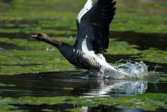 Graylag goose. Preparing to tak Stock Images