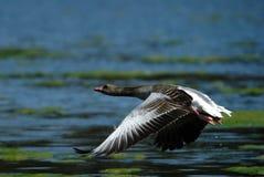 Graylag Goose. On Bavarian lake Stock Images