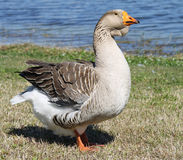 Graylag Goose. Domesticated graylag goose at the lake Royalty Free Stock Photos