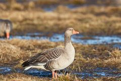 Graylag goose Stock Photography