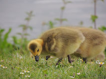 Graylag goose chicks grazing Royalty Free Stock Images