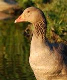 Graylag goose close-up Stock Photos