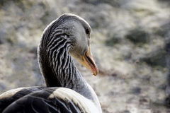 Graylag goose closeup portrait Royalty Free Stock Photography