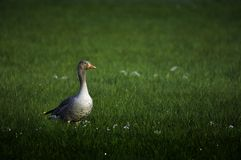 Graylag goose on green field Stock Images