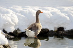 Graylag Goose from rear view Stock Photos