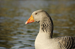 The Graylag goose swimming in a pond Stock Image