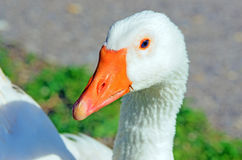 Graylag goose Royalty Free Stock Photography