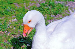 Graylag goose Royalty Free Stock Images
