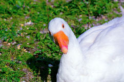 Graylag goose Royalty Free Stock Photo