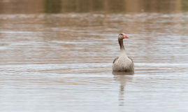 Graylag on the lake Royalty Free Stock Photos