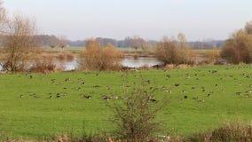 Grayleg geese in IJssel floodplains near Nijenbeek Ruin stock footage