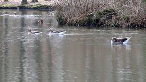 Grayleg geese and mandarin ducks in dutch pond stock footage