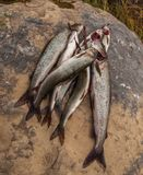 Grayling Στοκ Φωτογραφίες