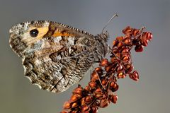 Grayling Butterfly Stock Images