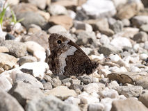 Grayling butterfly - hipparchia Stock Photography