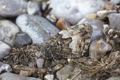 Grayling Butterfly Hipparchia semele Royalty Free Stock Photography