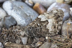 Grayling Butterfly Hipparchia semele Royalty Free Stock Images