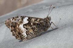 Grayling Butterfly Hipparchia semele Stock Image