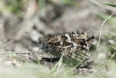 Grayling butterfly, Hipparchia semele Royalty Free Stock Photography