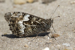 Grayling Butterfly & x28;Hipparchia semele& x29; Stock Photography