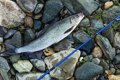 Grayling caught fly fishing tackle. Angler releasing an arctic grayling. Grayling fish caught on the spinner by fisherman. Norther. N fishing. Successful fishing stock photos