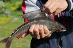 Grayling closeup (arctic char). Grayling (arctic char) in the hands of the fisherman closeup royalty free stock photo