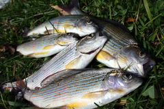 Grayling de los pescados en una hierba imagen de archivo libre de regalías