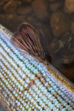 Grayling detail Royalty Free Stock Images