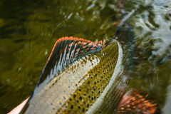 Grayling detail. Close up details of magnificent Grayling Stock Photos