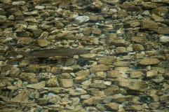 Grayling die net onder de oppervlakte sluimeren royalty-vrije stock afbeeldingen